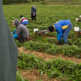 Ein Mitarbeiter des Zolls kontrolliert am 05.06.2012 Erntehelfer aus Polen und Rumänien, die auf einem Spargelhof in Thüringen Erdbeeren pflücken.