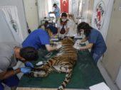 Tiger aus Aleppo in die Türkei gerettet