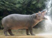 Flusspferd Max verlässt Berliner Zoo und zieht in die Türkei
